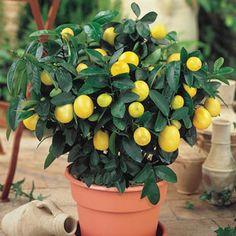 Patio Plants, Garden Plants, Indoor Plants, House Plants, Citrus Trees, Fruit Trees, Lime Trees, Fruit Plants, Citrus Fruits