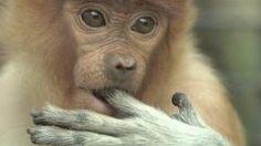 サルが泳いでいる姿ってあまり見たことがないけどボルネオ島に生息するテングザルっていうサルは泳ぎが得意なんだって テングザルはインドネシアの沼地に住んでいるから泳げないと餌を得るのが難しいんだそう サルの能力って木に登れるだけじゃないんだ(;) tags[海外]