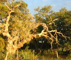 Gnarled tree in the Texas hill country.