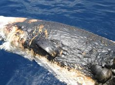 NOAA downplayed the discovery of a floating dead sperm whale and the fate of five other whales, including a juvenile, that had obviously been covered in oil from the spill. A gag order was put in place on crew members of research ship. This latest news fits into a pattern of apparent downplaying of the size of the spill, as well as its effects on animals