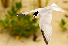 Bird of the Week, Least Tern, September 30, 2011