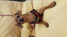 Noel is an adoptable Miniature Pinscher searching for a forever family near Rosemead, CA. Use Petfinder to find adoptable pets in your area.