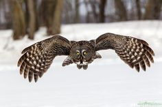 Great Grey Owl GGO