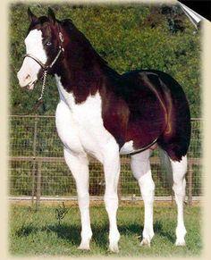 Gambling Man Sutters Berseem x Miss Lucky Mount Paint Horse, Stallion Born 1976 Horses And Dogs, Cute Horses, Pretty Horses, Horse Love, Wild Horses, Black Horses, Most Beautiful Horses, Animals Beautiful, Cute Animals