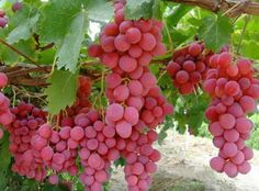 Cheap grape seeds, Buy Quality planting fruit trees directly from China fruit trees Suppliers: Hot Selling Rare Species Grape Seeds Giant Red Grapes Bonsai Fruit Seeds DIY Home Garden Potted Plant Fruit Tree Vine Fruit, Fruit And Veg, Fruits And Vegetables, Fresh Fruit, Vegetables List, Veggies, Beautiful Fruits, Beautiful Flowers, Wine Vineyards