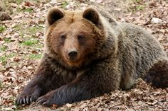 """RALPHKE posted a photo:  A European Brown Bear (Ursus arctos arctos) in the Gangelt Wildlife Park.  A mother bear is relaxing, outside the image the two young bears are busy playing.  I dedicate this picture to my girlfriend Nancy. Mother of four.  A mother's love for her child is like nothing else in the world. It knows now law, no pity, it dares all things and crushes down remorselessly all that stands in its path.  -Agatha Christie-  Country: Germany.  Please press """"L"""" to see large…"""