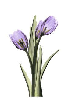 Purple Tulips II Purple Tulips, Tulips Flowers, Watercolor Flowers, Watercolor Paintings, Tulip Tattoo, Transparent Flowers, Orchid Care, Purple Aesthetic, Flower Art
