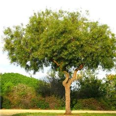 RHLA / Rhus lancea - African Sumac / Evergreen / Full Sun / Drought Tolerant / Feet High and Feet Wide Evergreens For Shade, Evergreen Trees, Shade Trees, Shade Evergreen, Drought Tolerant Trees, Water Wise Landscaping, Specimen Trees, How To Attract Birds