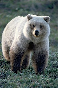 [FACTOID: This was thought to be a rare Kermode Bear, also known as a Spirit Bear.However it is a grizzly bear. Their fur is grizzled, that is, lighter at the ends than at the roots. Yeah, Grizzly all day. Rounded ears, dish shaped face, shoulder hump. They can certainly be hard to distinguish sometimes].  [* * PARTICULARLY BEAUTIFUL TYPE BEAR.