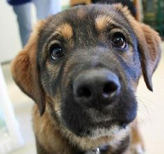 Olive the Saint Bernard mix... who couldn't make time for eyes like these?