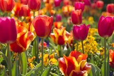https://flic.kr/p/GFmw8J | More Colorful Tulips [Explore] | Here are more tulips from the 2016 Tulip Festival at Thanksgiving Point Gardens. I think looking at tulips makes everyone happy.  I caught these in just the right afternoon light to create an explosion of color.