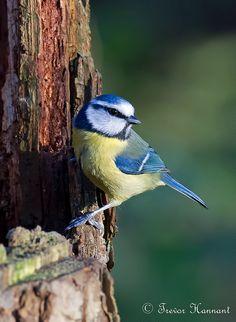 """BLUE TIT """"Parus caeruleus"""" taken at Strumpshaw Norfolk, England"""