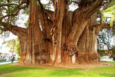 This tree is in Santa Maria Del Tule, Mexico. Estimates are that it is about 3000 years old.
