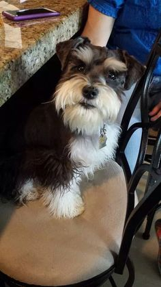Am I cute or what? | A community of Schnauzer lovers!