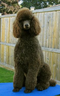 Truffle from Bijous Poodles -- What a handsome boy.