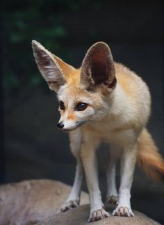 Fennec Fox Once More by ShutterSerpent on DeviantArt Amazing Animals, Unique Animals, Animals Beautiful, Exotic Animals, Fennec Fox Pet, Pet Fox, Fox Pictures, Funny Animal Pictures, Foxes Photography