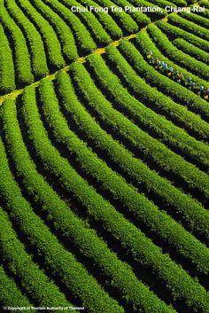 Chouifong-Tea-Plantation-Chiang-Rai-province_DSC2741