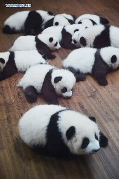 Giant panda cubs are seen at Chengdu Research Base of Giant Panda Breeding in Chengdu, Sichuan Province, Oct. 24, 2015. A total of 13 giant panda cubs born this year appeared together here Saturday, including six pairs of twin pandas. http://www.chinatraveltourismnews.com/2015/10/12-twin-panda-cubs-meet-public.html