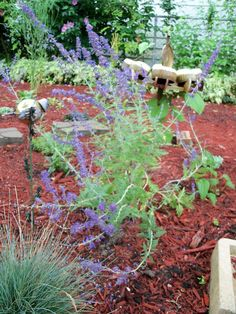 fragrant herbs to make your garden smell wonderful, gardening, beautiful wispy tall and hardy Russian sage has been blooming all summer and smells great as you approach