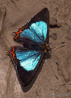 Male Green-Sapphire - male. Khonoma, Nagaland, India - Flickr - Photo Sharing!