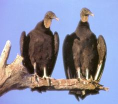The more southern of our two common vulture species, the Black Vulture flaps its wings rather frequently while it soars. It is more social than the Turkey Vulture, often traveling in large flocks.