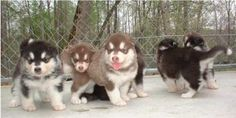 malamute puppies how much