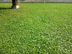 クラピアの緑をきれいに見せるにはどうしたらよいのか。 #スーパーイワダレソウ #クラピア #kurapia