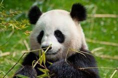 panda - null