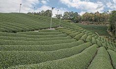 Campos de te verde en Wazuka, Japan