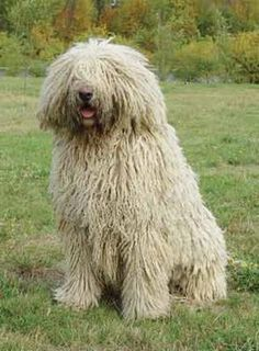 Komondor .. their coats are corded . or some people keep them trimmed for the city or brushed out. the cords take a few days to dry out when bathed.