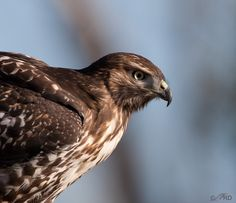 Washington State Hawk Species | Red-tailed Hawk with Long-billed Hawk Syndrome | Feathered Photography
