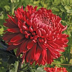 Alex Young Chrysanthemum | Hover to zoom, click to enlarge