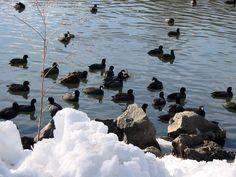 Lake birds in Klamath Lake