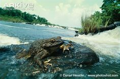 The massive goliath frog (Conraua goliath), as its name alludes, is the largest frog in the world with individuals weighing over three kilograms (2). The granular skin is greenish in colour with a yellowish-orange underside, and the feet and hands are webbed