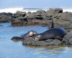 Hawaiian monk seals resting in a tide pool at Kaena Point, Oahu.