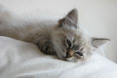 Siberian cat picture