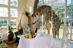 The Karen Blixen Suite at Giraffe Manor – Nairobi, Kenya.  Endangered Rothschild giraffes come with the room. They're encouraged to stick their heads through the open windows for a piece of mango or a tickle.