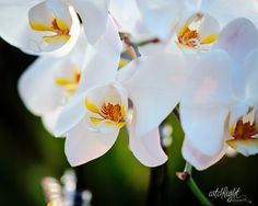 My orchids II