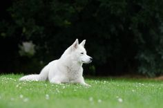 Free Image on Pixabay - Husky, Lying, Meadow, Summer, White Big Dogs, Dogs And Puppies, Doggies, Japanese Spitz, Pet Boarding, Dangerous Dogs, Coton De Tulear, Dog Stories, Shar Pei