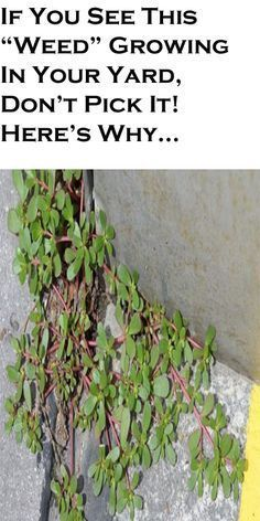 """If You See This """"Weed"""" Growing In Your Yard, Don't Pick It! Here's Why…"""