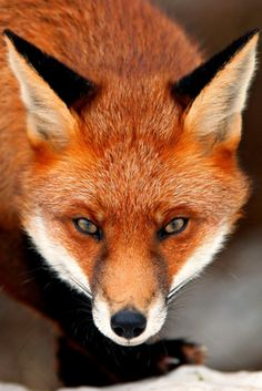 fox - beautiful face closeup