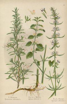 Rosemary - Rosmarinus officinalis