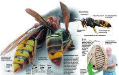 La avispa asiática que acaba con la abeja amenaza con llegar a Cantabria