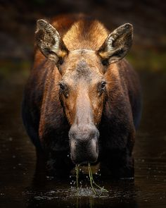 """Moose In A Pond - """"Oh crap,"""" I muttered as I realized I may have gotten a little too close to this large female moose.  I was hoping for a good shot of her looking right into the camera, but as she lifted that massive head and stared at me I stared to think this may have been a mistake. As I gazed at her theorugh the viewfinder, her epxression said it all –  """"Hey, I think you're too close.""""  All I could think about was that old cliché - careful what you wish for – you just might get it…"""