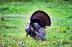 WIld turkey in SMoky Mtns