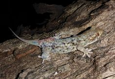 Newly Discovered Gecko Escapes Danger Naked and Alive - The New York Times