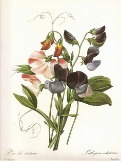 SMALLER SIZE REDOUTE Vintage 1990 Art Print Botanical Original Book Plate 116 Beautiful Antique Sweet Pea in Blush Pink Purple and Violet