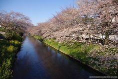 Cherry blossoms along the Rokken River in Fujieda City, Shizuoka Prefecture (April 2012).