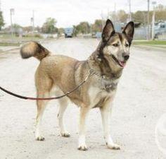 Leila is an adoptable Shepherd Dog in Montreal, QC. Leila est super bonne avec les chiens et les chats. Elle a besoin d'un environnement sans enfants car elle apprécie le calme et son niveau d'activi...