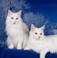 white maine coons